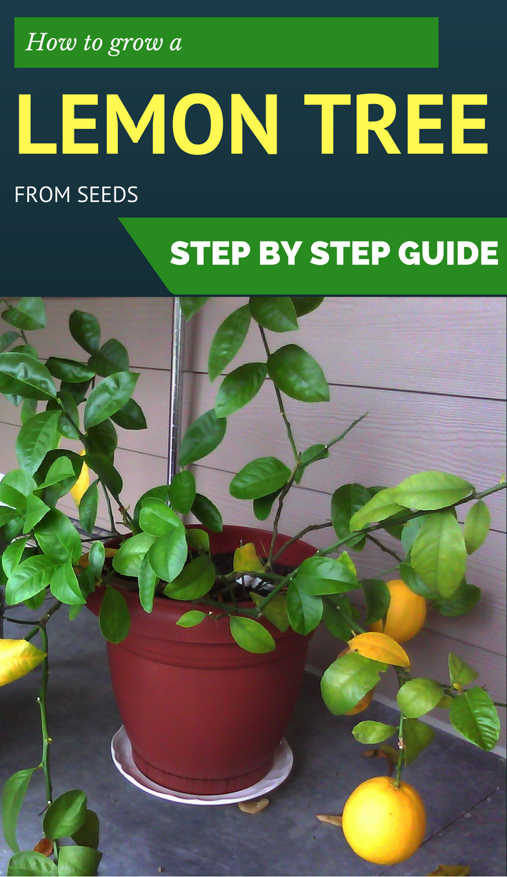 How to grow a lemon tree from seeds step by step guide Planting lemon seeds for smell
