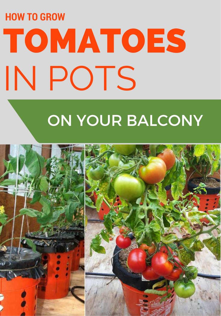 how to grow tomatoes in pots on your balcony  gardentips, Natural flower