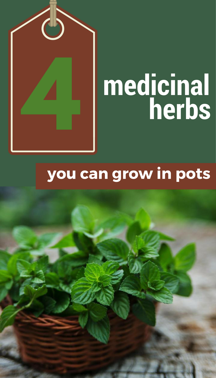 4 medicinal herbs you can grow in pots. Black Bedroom Furniture Sets. Home Design Ideas