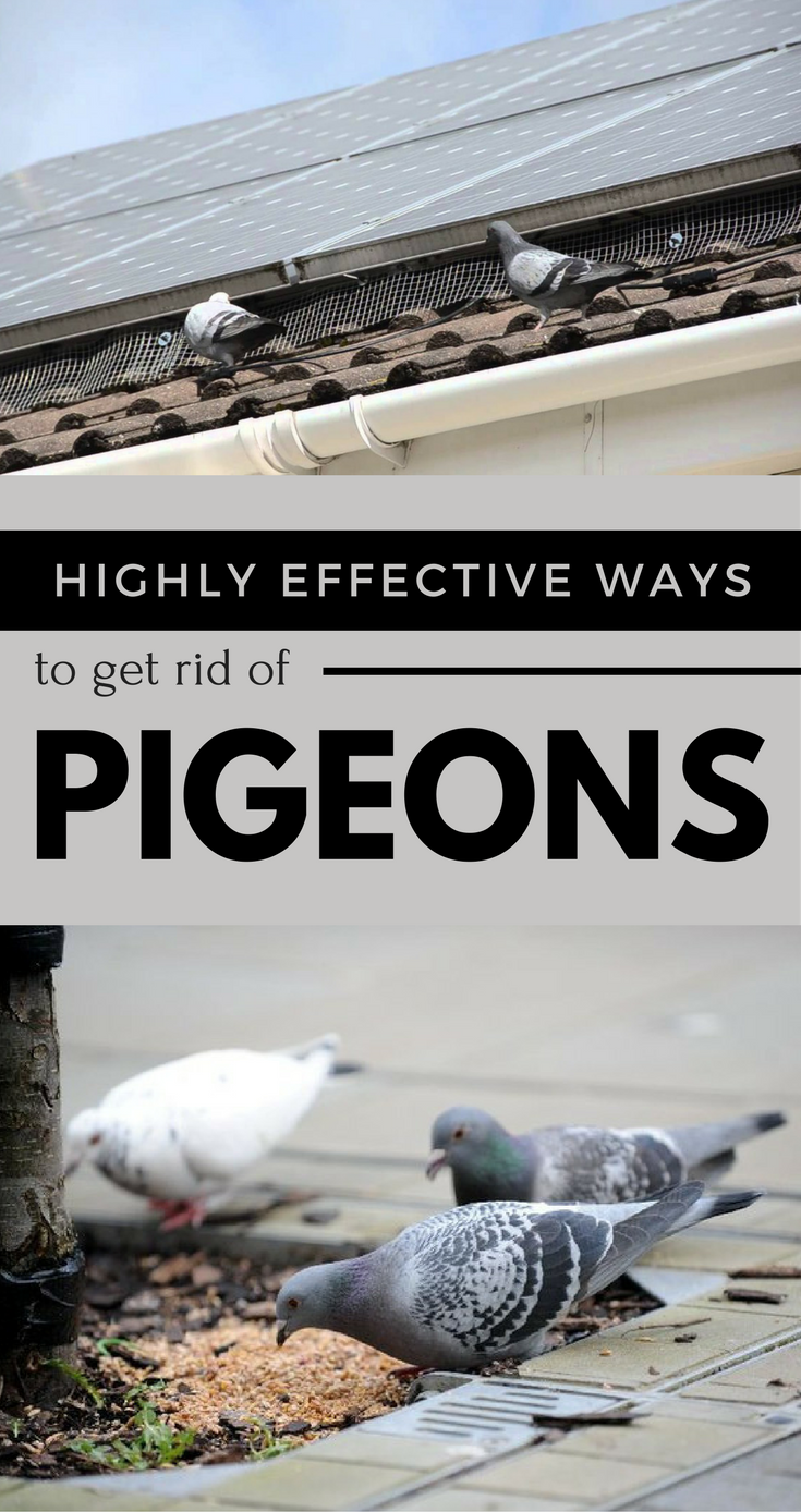 Natural Ways To Get Rid Of Pigeons