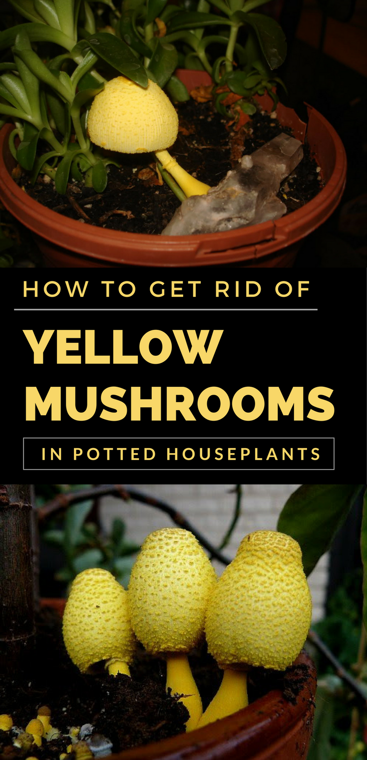 How To Get Rid Of Mildew >> How to Get Rid of Yellow Mushrooms in Potted Houseplants - 101GardenTips.com