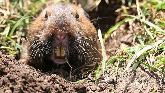 Best Solutions To Control Gophers & Keep Your Garden