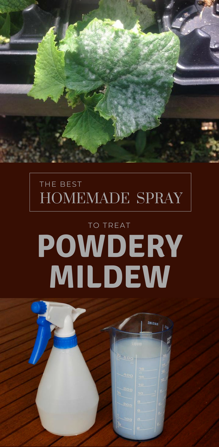 the best homemade spray to treat powdery mildew. Black Bedroom Furniture Sets. Home Design Ideas